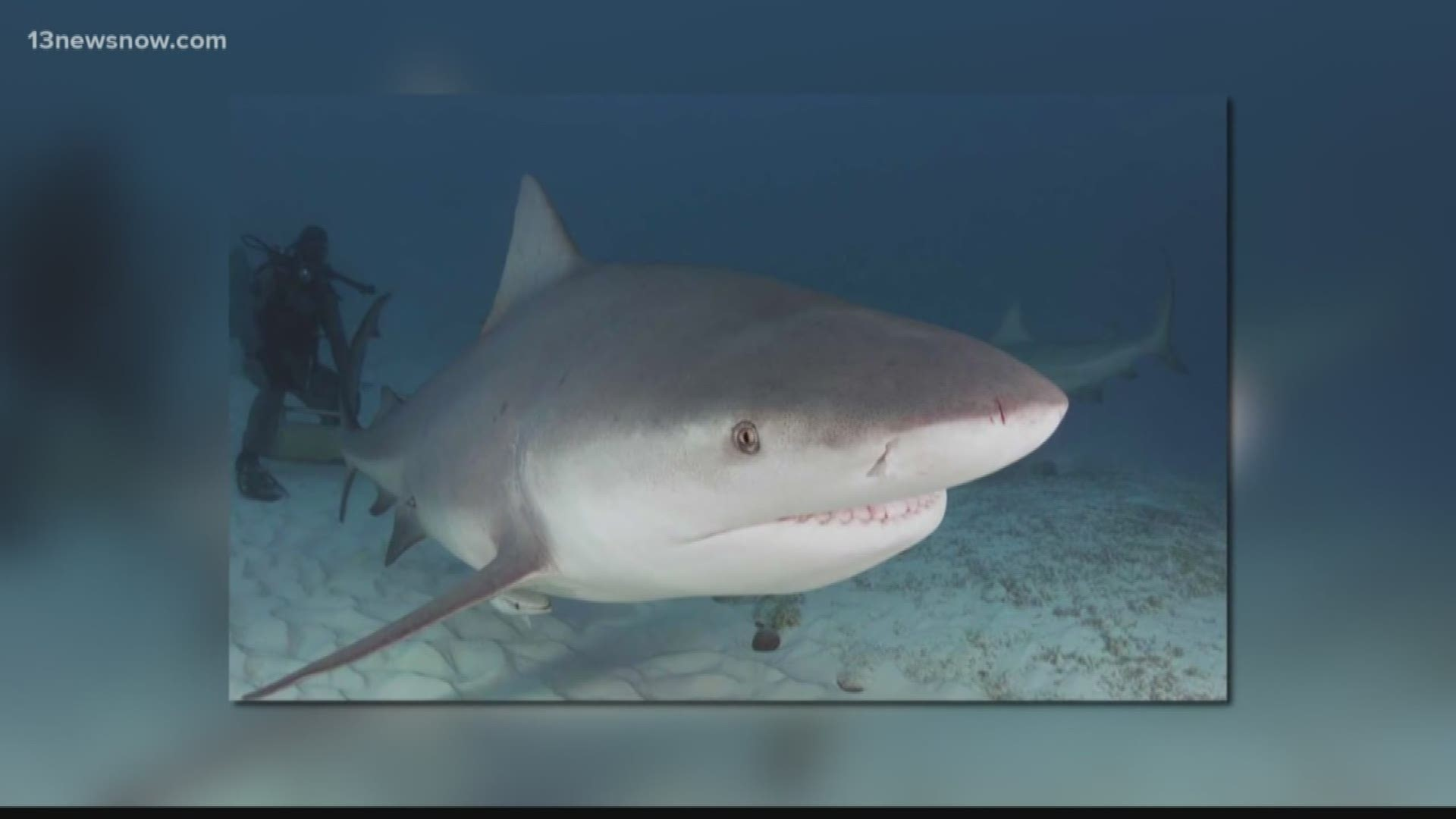 Bull Sharks Are Multiplying In Obx 13newsnow Com