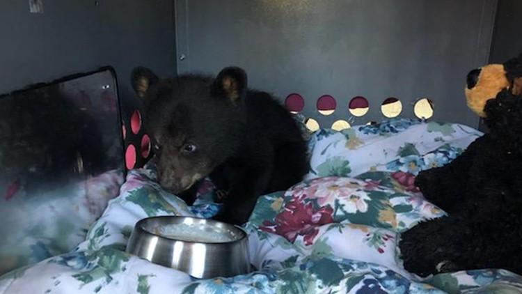 Black Bear cub #19-0492