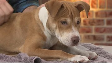 Shelter Sunday: Meet Rolf. This puppy is looking for his forever home.