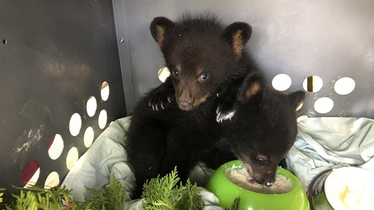 Bear cubs #19-0492 and #19-0546