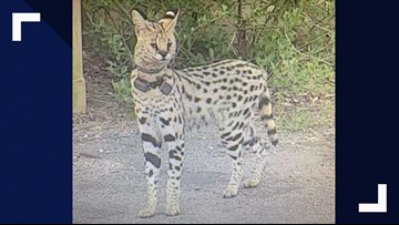 Owner: Missing exotic cat traveled from Kitty Hawk to Virginia Beach, plan is underway to catch him