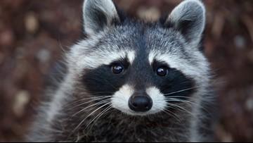 Raccoon tests positive for rabies in Newport News