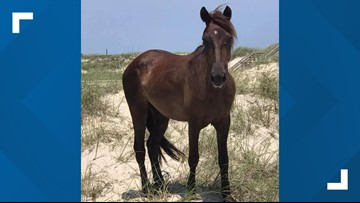 Corolla wild horse Cali euthanized after shoulder x-rays