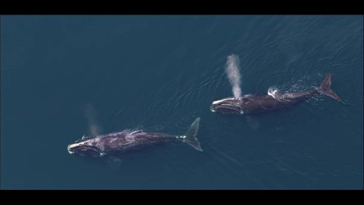 Less than 500 North Atlantic right whales are left in the ocean, according to fisheries managers.