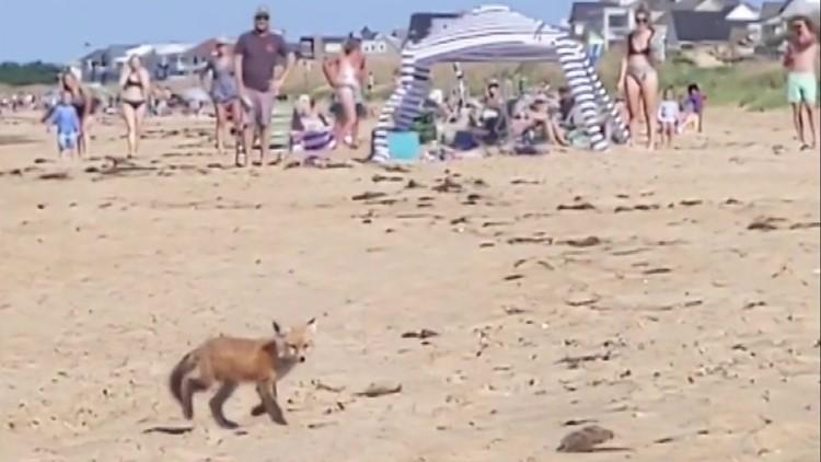 Foxes embrace beach season in Ocean View