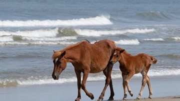 'No More Warnings' | Deputies cracking down on Corolla Wild Horse violations