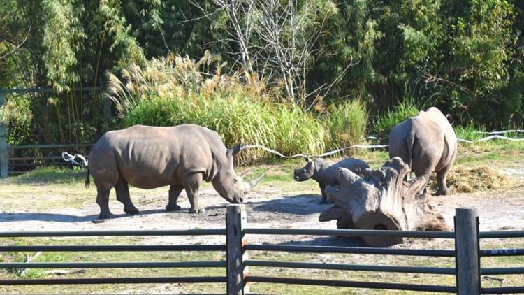 Norfolk zoo celebrates baby rhino 'Mosi' turning 3 months old