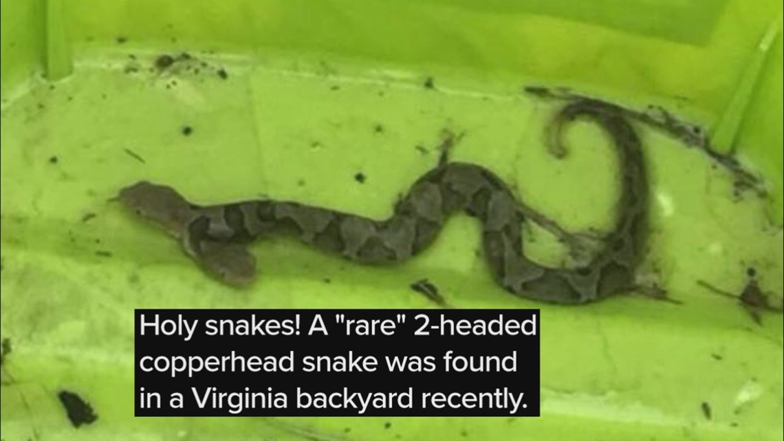 Gas Prices In Virginia >> 'Rare' two-headed copperhead captured in Virginia backyard | 13newsnow.com