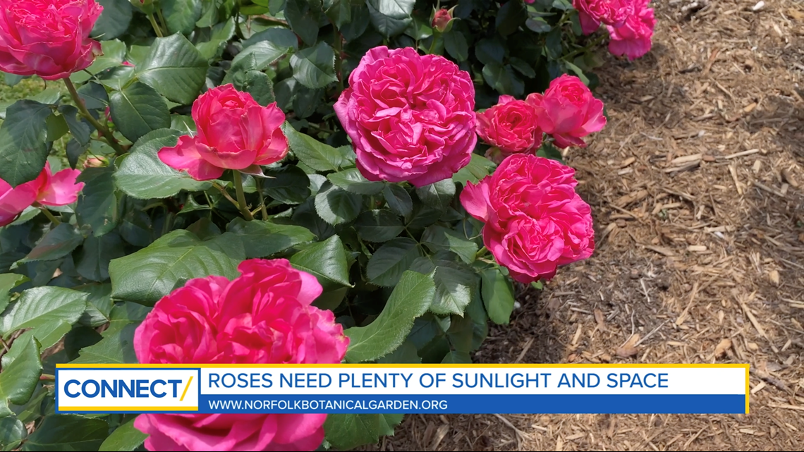 CONNECT with Norfolk Botanical Garden: Visit the rose garden and the