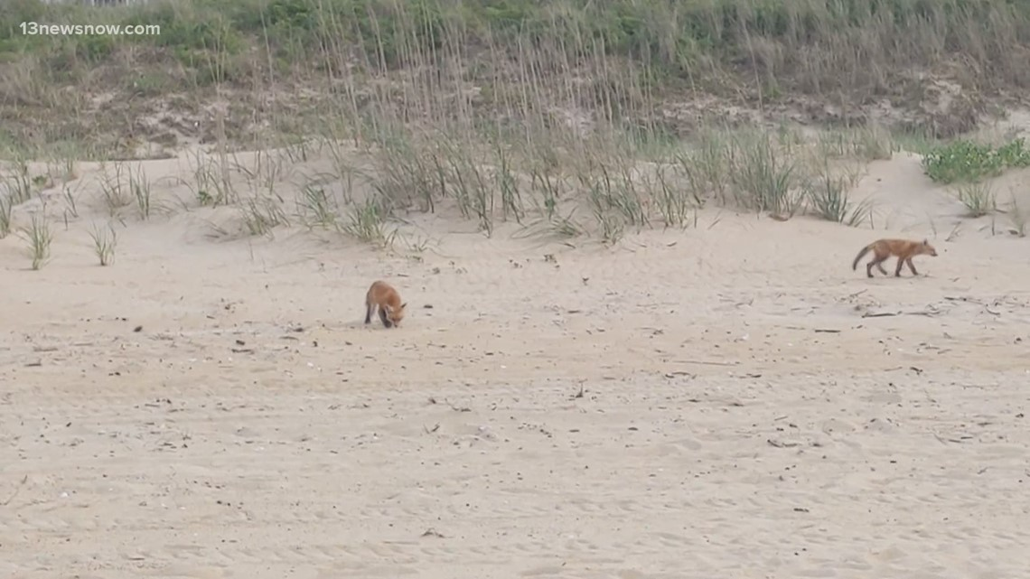 Foxes on the beach? Wildlife expert explains red fox kits at Ocean View