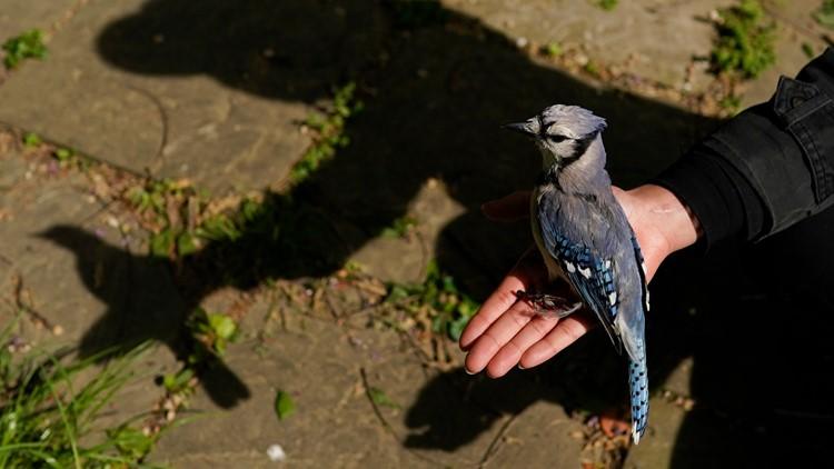 EXPLAINER: What's making mid-Atlantic songbirds sick?