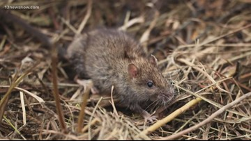 Norfolk neighbors noticing more rodents as temperatures drop