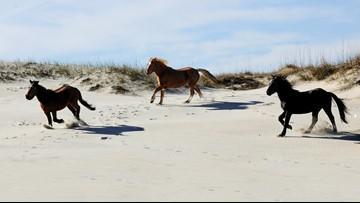 Corolla Wild Horse Fund holds calendar photo contest