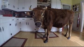 A North Carolina steer goes on 'legen-dairy' adventures