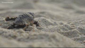 Virginia Aquarium excavate sea turtle nests in Virginia Beach