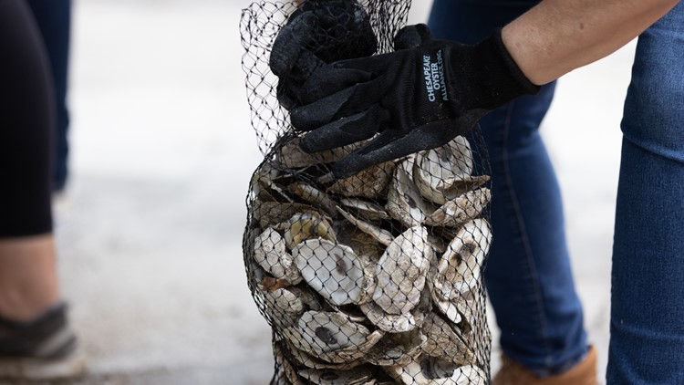 Logistics company to help restore 5.5 million oysters to the Chesapeake Bay