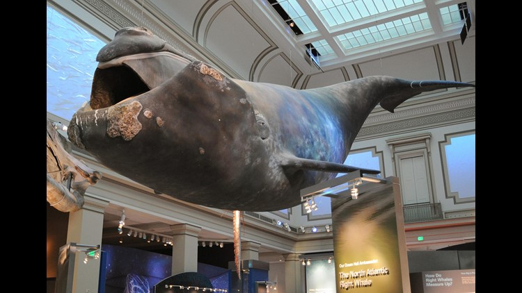 A full-scale model of Phoenix, a North Atlantic Right Whale, is seen on display at the Sant Ocean Hall at the Smithsonian National Museum of Natural HIstory. The model was made from images of the actual whale currently being monitored by scientists.