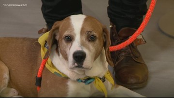 Shelter Sunday: Meet Todd, a 3-year-old beagle looking for a forever home