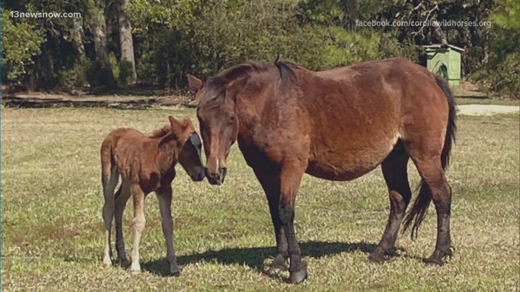 Corolla Wild Horse Fund welcomes foal Betsy