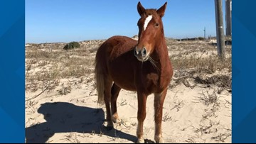 Wild horse 'Joaquin' dies after running into barbed-wire fence in Outer Banks