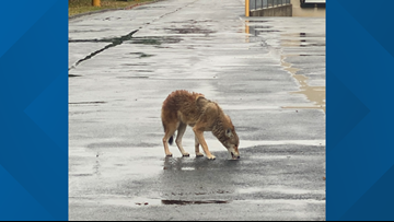 Coyote spotted at Red Mill Commons Shopping Center