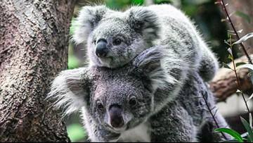 VERIFY: Are koalas really 'functionally extinct' after Australian Fires