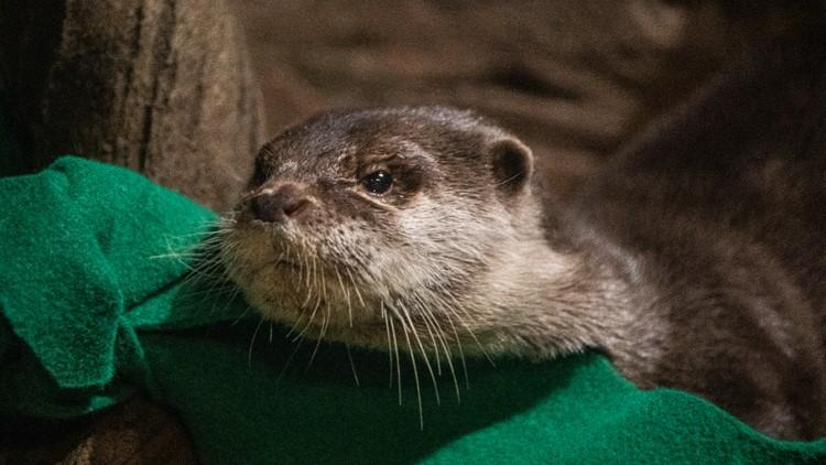 Otters at Georgia Aquarium test positive for virus that causes COVID-19